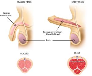 Come allungare e ingrandire il pene? Allungamento del pene naturalmente