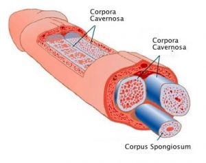 Anatomia penisa